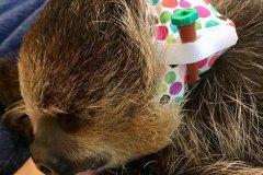 Sloth wearing Kitty Kollar